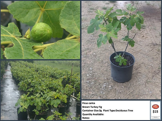 3g Brown Turkey Fig