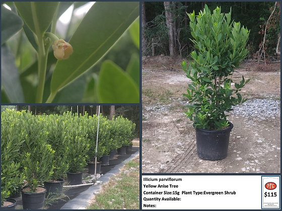 15g Yellow Anise Tree