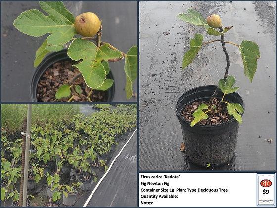 1g Fig Newton Fig