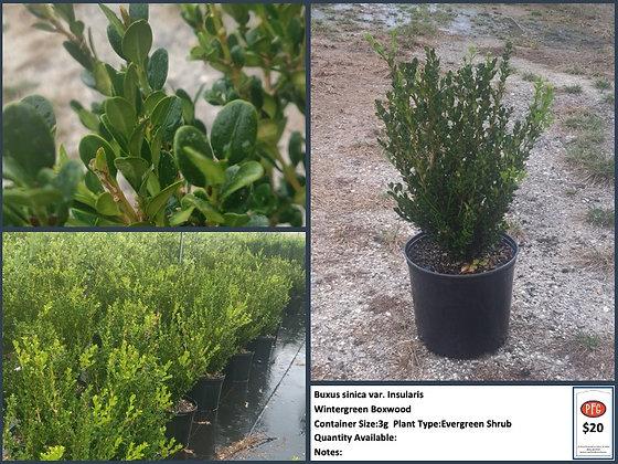 Buxus sinica var:  Insularis