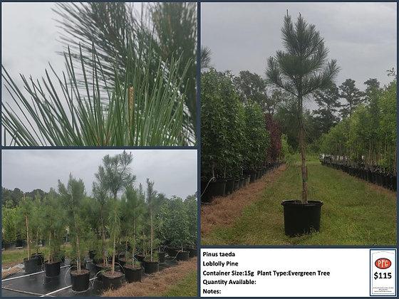 Pinus Taeda: Loblolly Pine