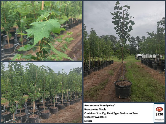 15g Brandywine Maple