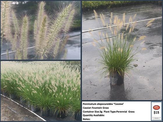 3g Cassian Dwarf Fountain Grass