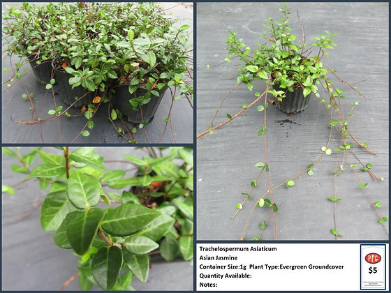 Trachelospermum Asiaticum: Asian Jasmine