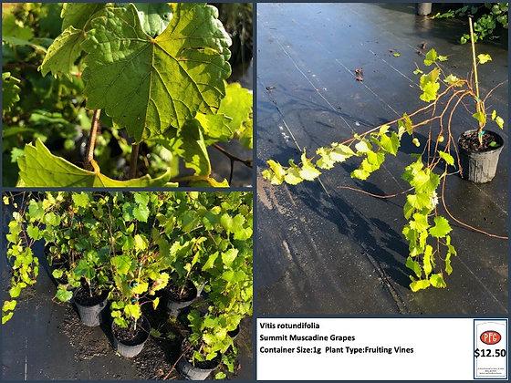 1g Summit Muscadine Grapes