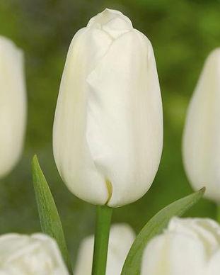 Kopi av Tulip SNOWBOARD.jpg