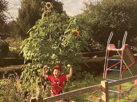 Sunflower whoppers grown in the Hemingfords