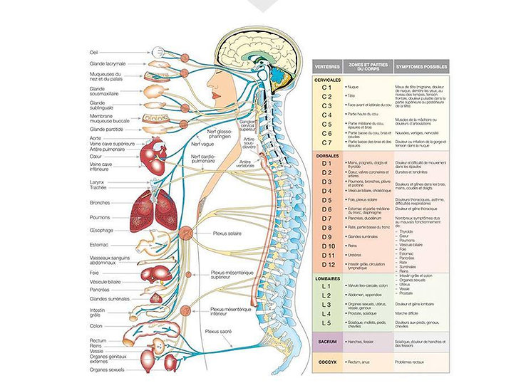 systeme nerveux.jpg