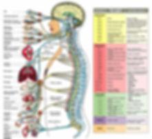 sistema nervioso.jpg