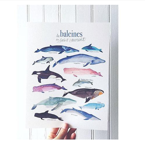 illustration les baleines du Saint-Laurent