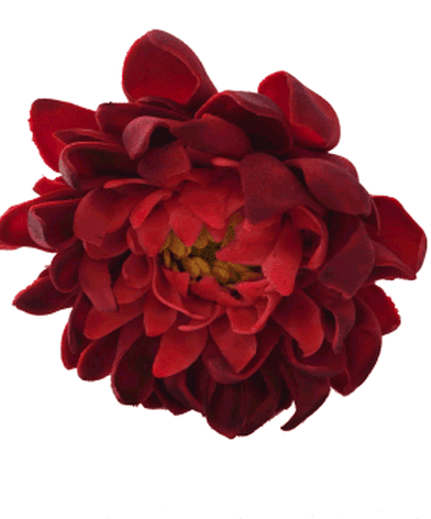 deep red dahlia resized comp.png
