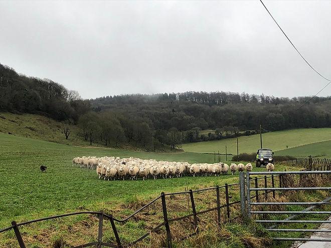 Sheep in field.jpg