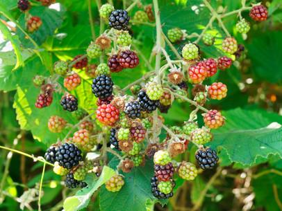 Busy Picking Blackberries
