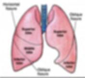 lung lobes.jpg