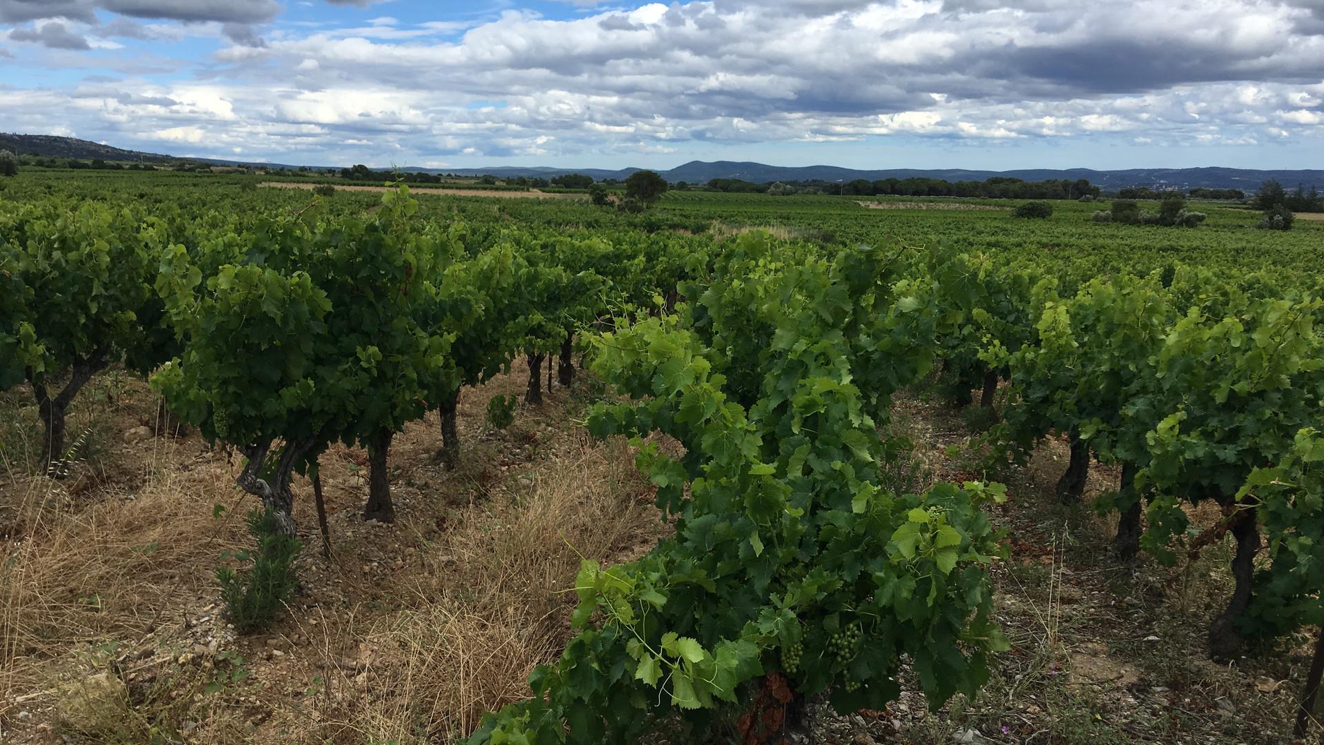 St Sat vines.JPG