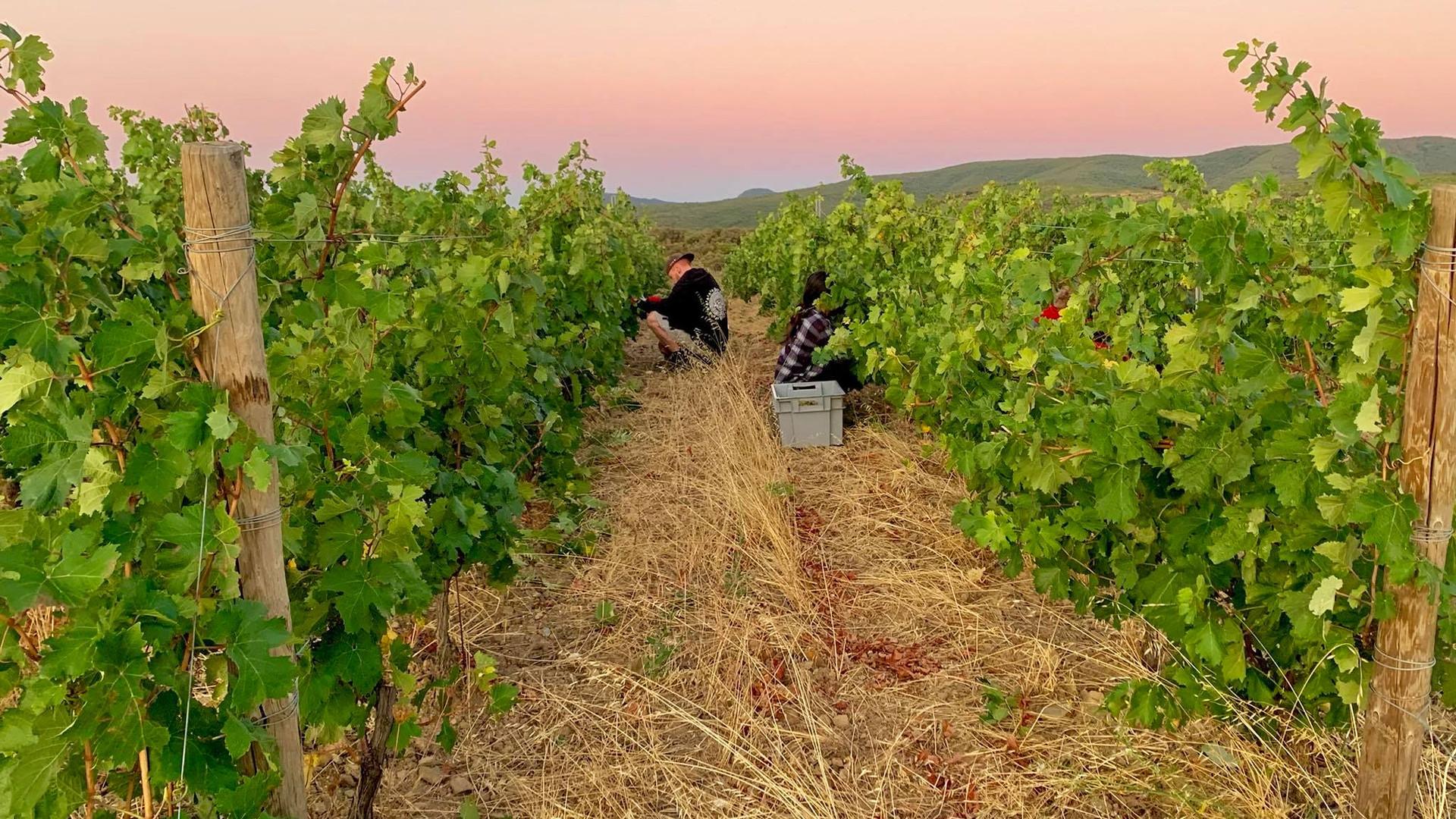 Domaine du Meteore - Leonides - vineyard