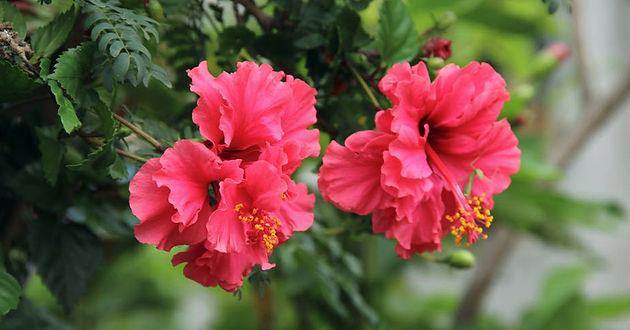 Amazing Ways To Use Hibiscus For Scalp Strengthens Your Hair