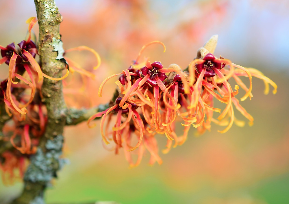 Witch hazel benefits on skin