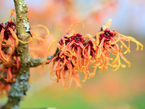Amazing Benefits of Witch Hazel on Skin