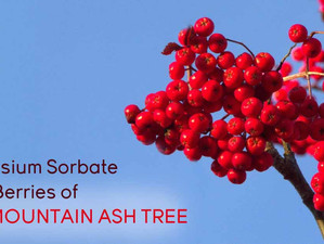 Potassium Sorbate from Berries of the Mountain Ash Tree