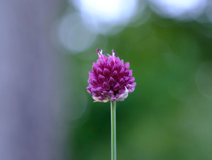 Healing Properties of Red Clover - Ristrah