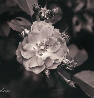 flower-9891 c.jpg