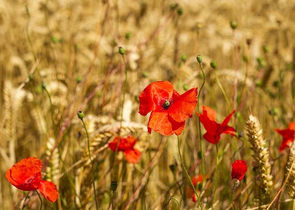 demeter poppy in the barley.jpg