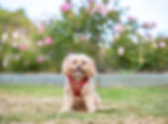 A cavoodle sits on the grass in front of a rose garden during a pet photo session