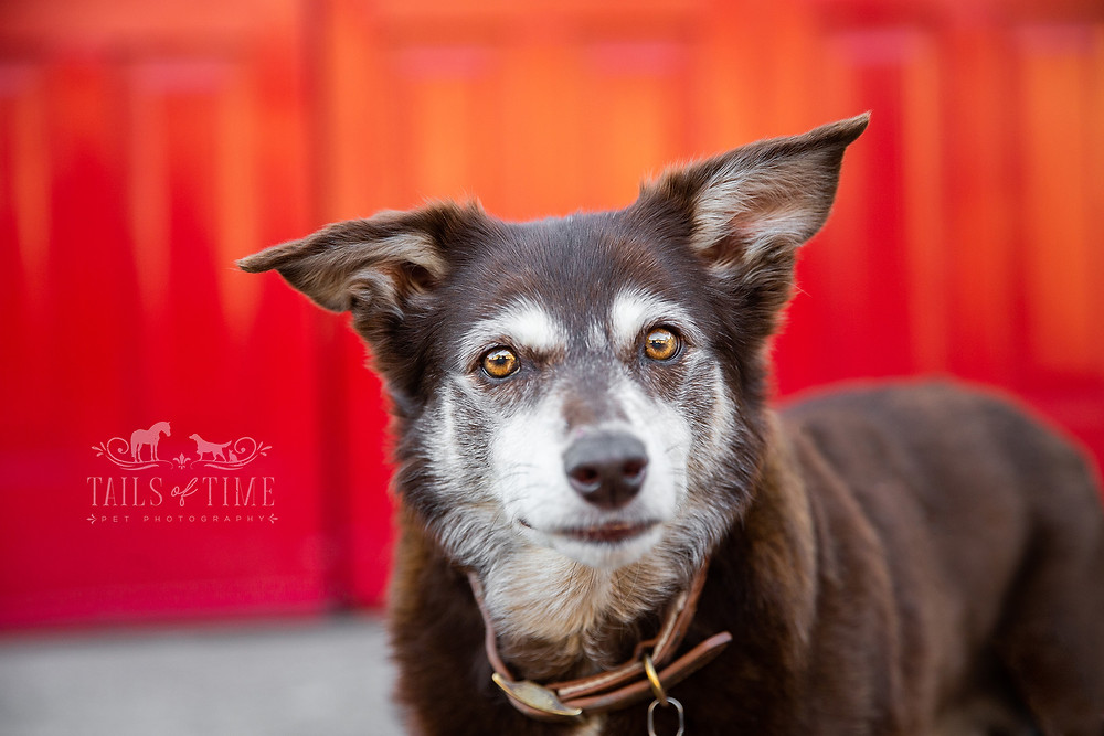 A kelpie makes direct eye contact in front of a bright red door during a dog photography session