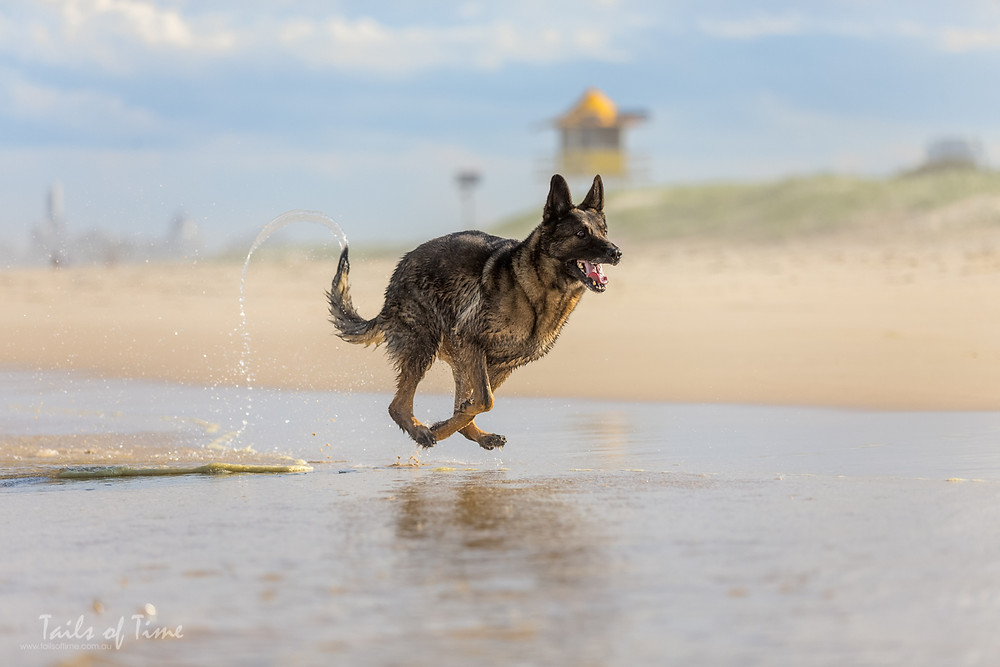 German shepherd running on a gold coast dog friendly beach