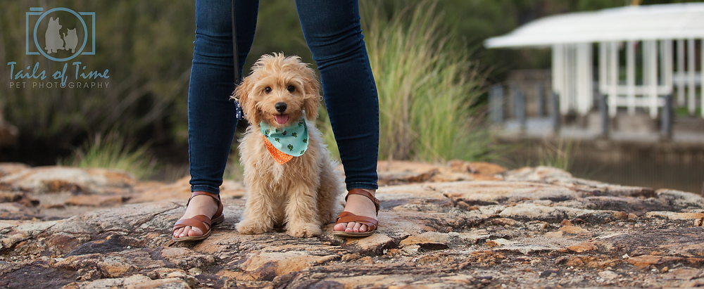 Cavoodle pet photographer in Brisbane