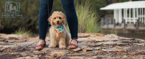 Cavoodle pet photographer in Brisbane