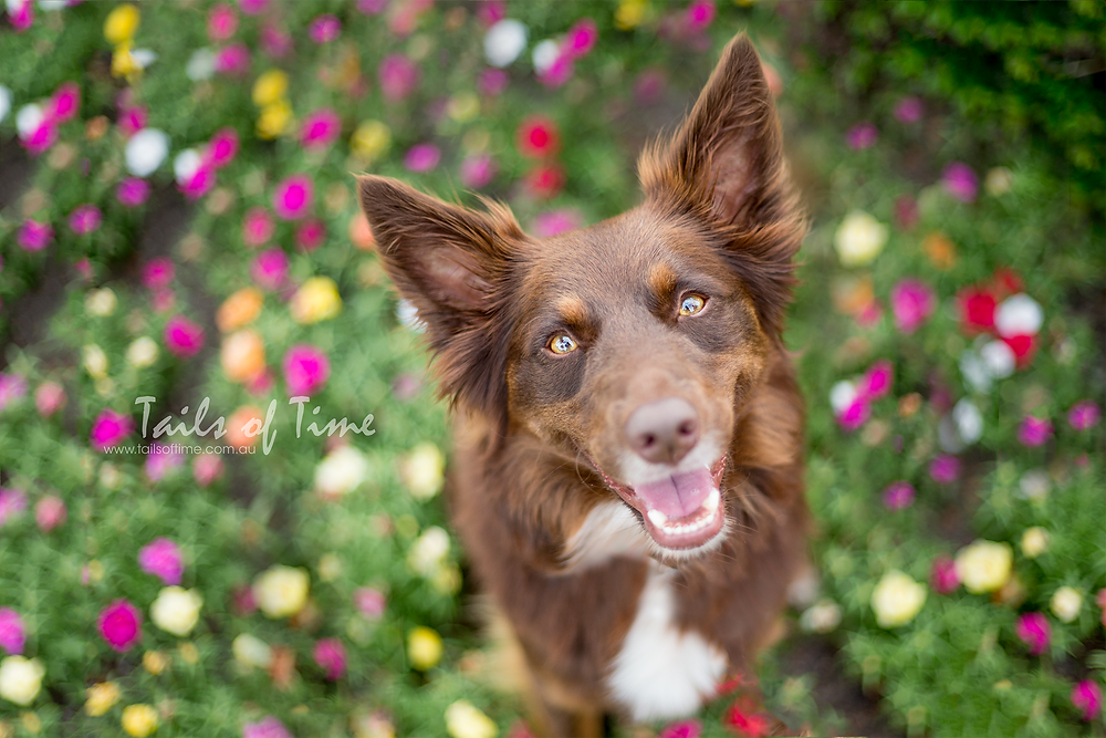 Kelpie at photoshoot new farm park amongst flowers