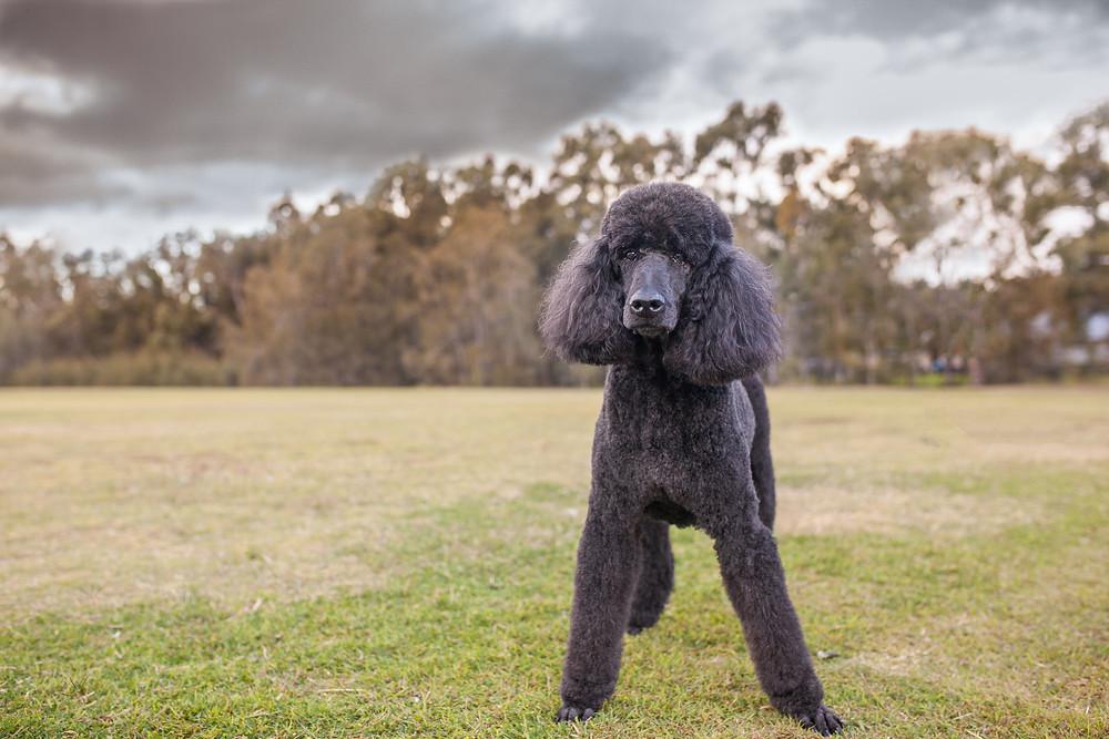 Get artwork of your dog