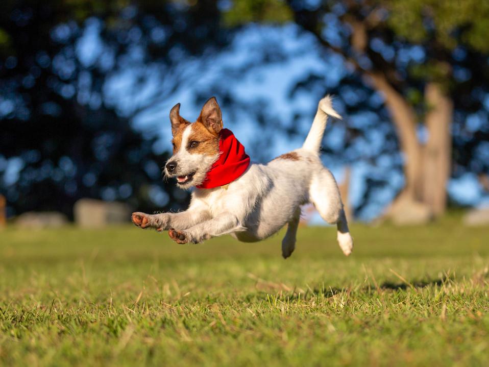 parsonrussell-oldpetrietown-dogphotograp