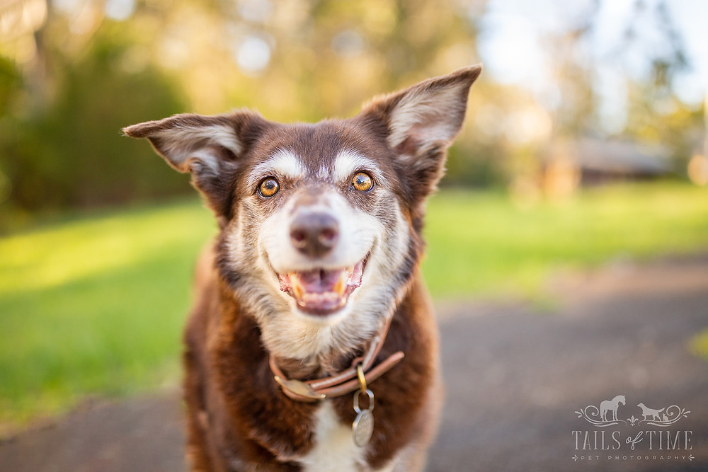 a kelpie dog smiles at the camera