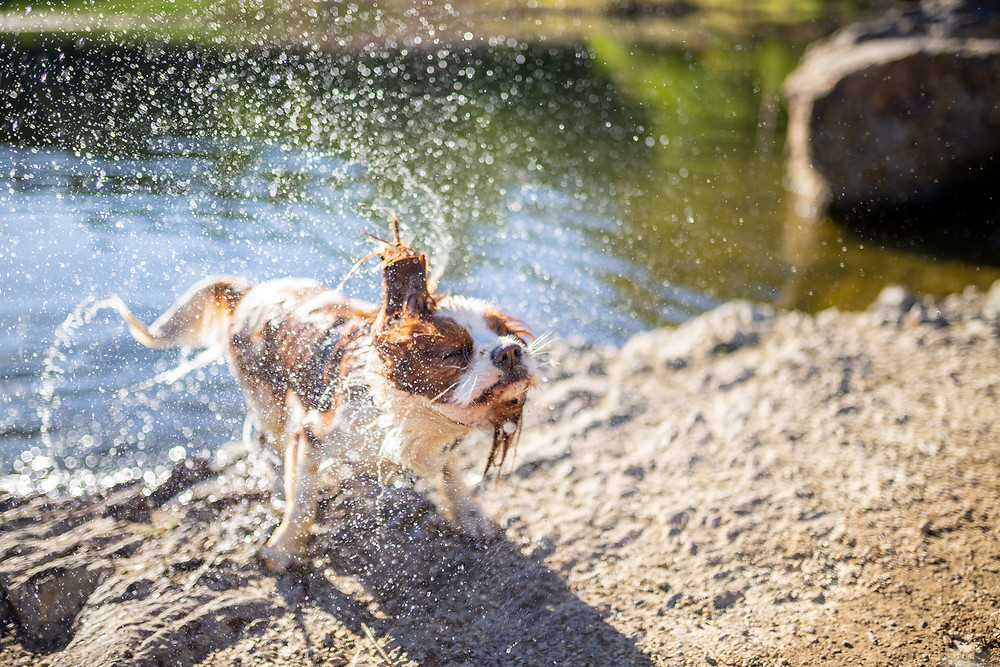 A dog shakes water off after swiming in Daisy Hill Quarry a brisbane pet friendly dog swimming area