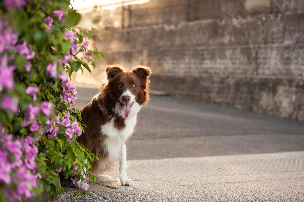 Pet photographer in Brisbane. Milo the Border collie at New Farm Park