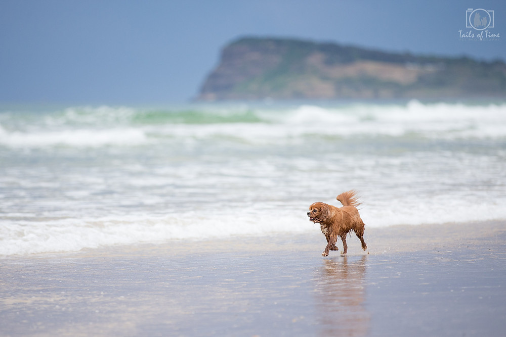Brisbane Pet photographer travels to Lennox Head NSW for a pet photography session