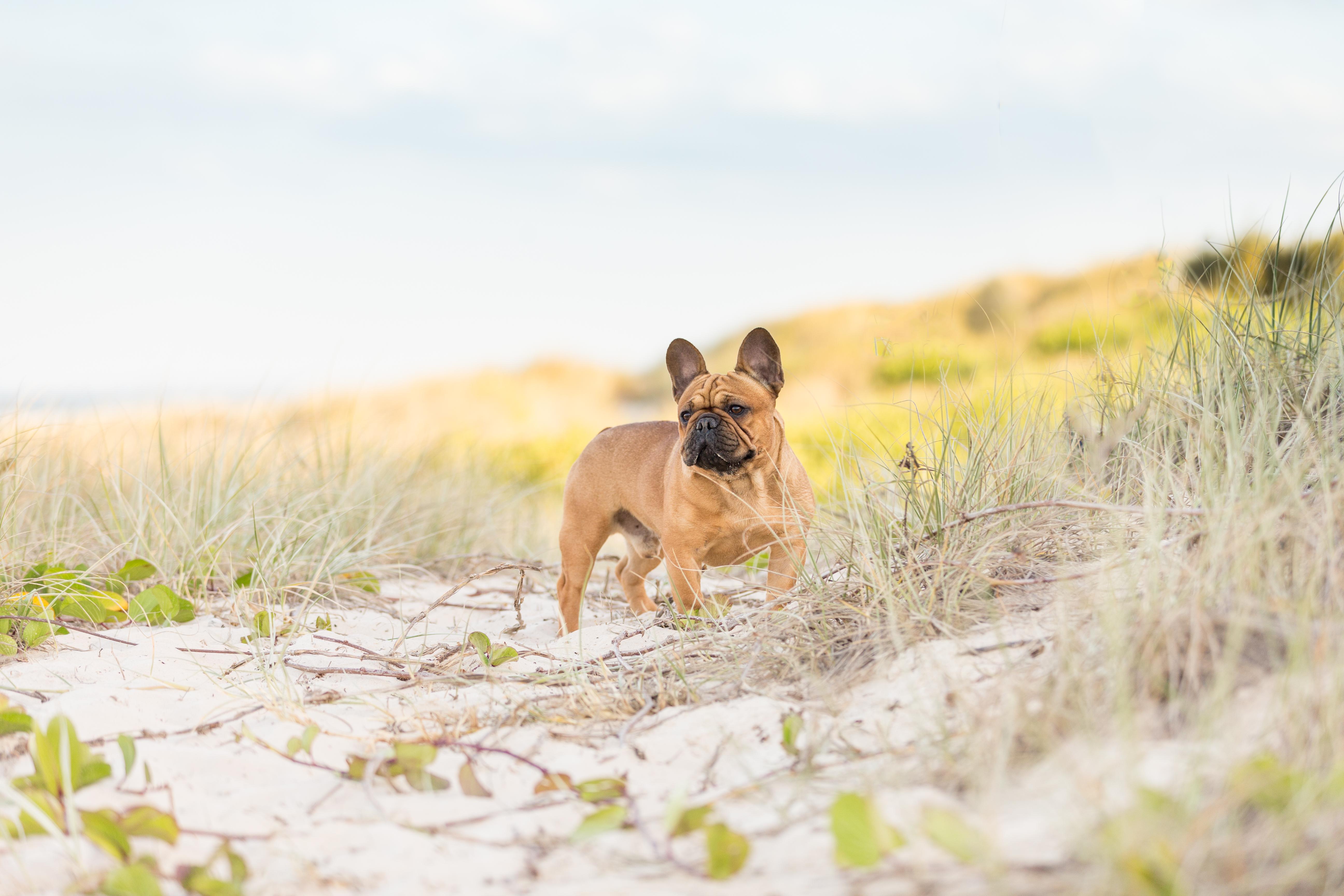 french bulldog at gold coast beach