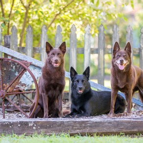 Tango, Talli and Nina the kelpies, and their pet photography session!