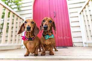 Two brown dachshunds pose cutely in front of a red door modelling collars and bows as part of a commercial pet photography shoot