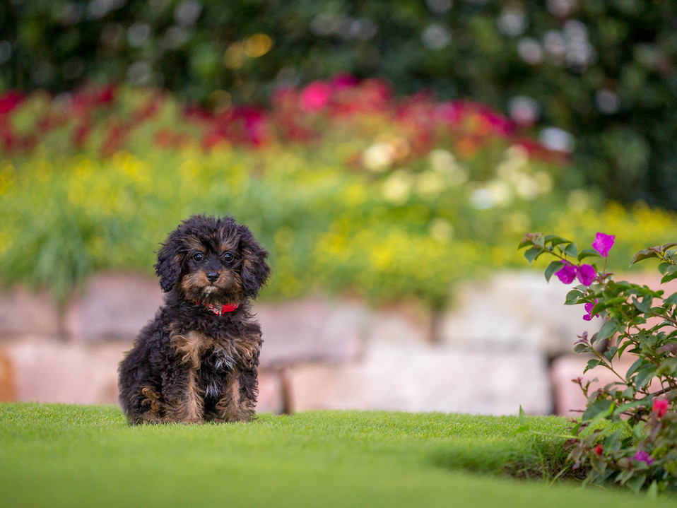 cavoodle-puppy-brisbane-photography.jpg