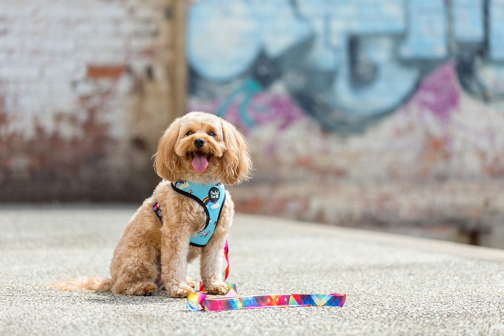a dog in a rainbow harness and lead during a commercial pet photography session in brisbane
