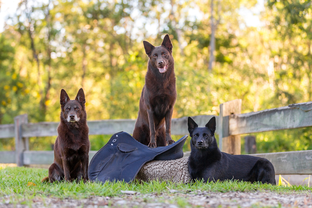three dogs posing with a saddle at their pet photography session