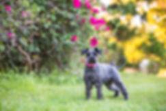 mini schnauzer in a brisbane park pet friendly
