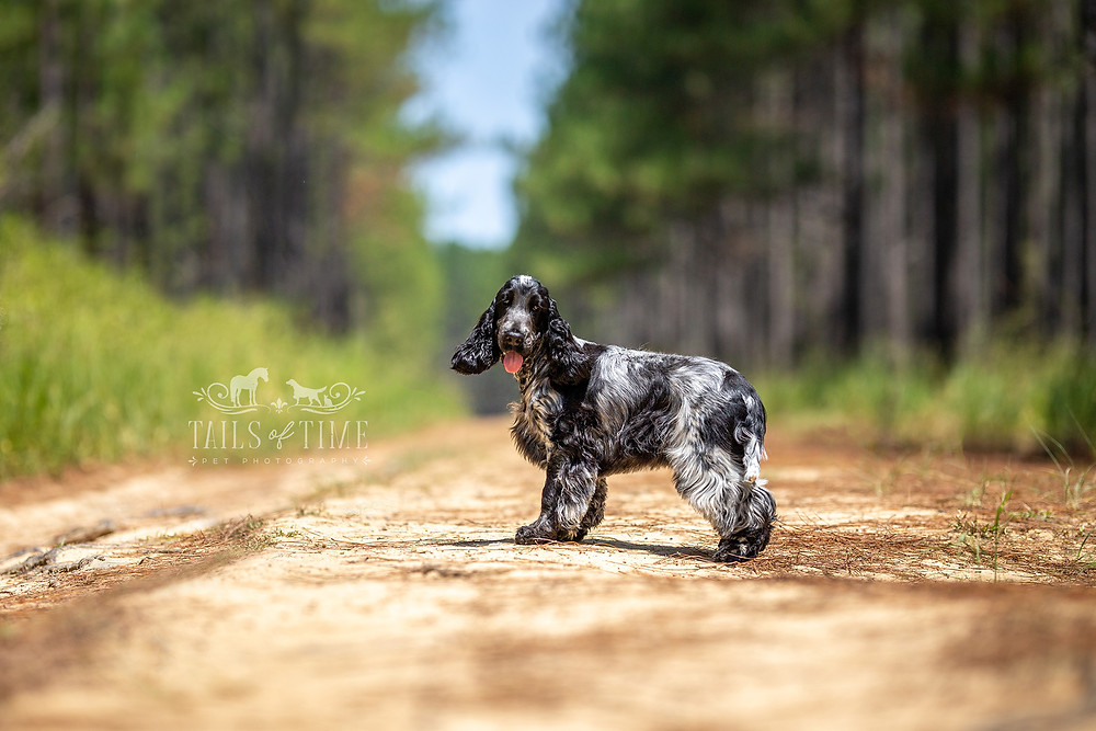 cocker spaniel in a pine forest