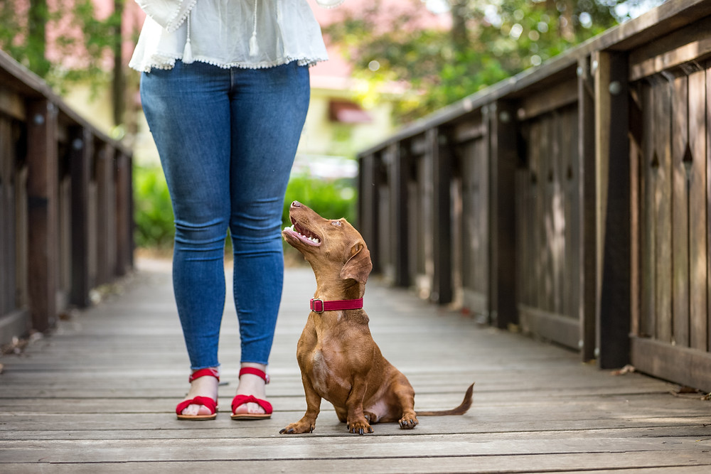dachshund looking adoringly at his owner during a maleny pet photography session
