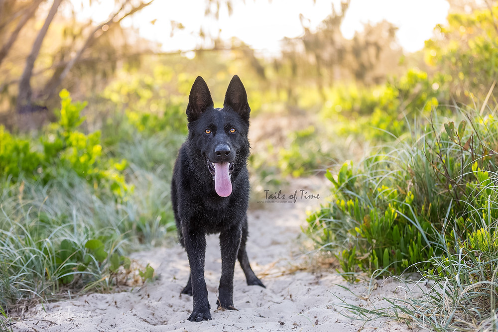 German shepherd at the spit gold coast during dog photoshoot