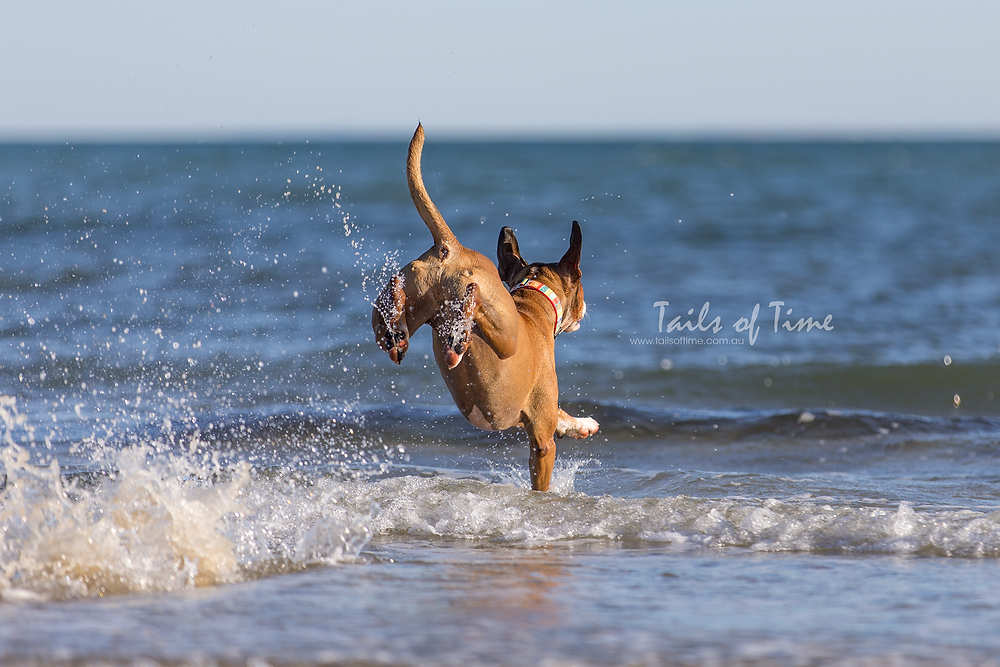 A session at Sunshine Coast Bribie island Brisbane by Tails of Time Pet Photography